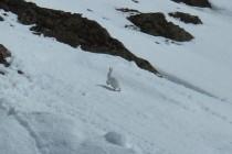 Zum Schluß begegnete uns noch ein Schneehase.