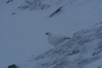 Auf dem Weg zum Piz Buin leistete uns ein Schneehuhn Gesellschaft. Der Gipfel war wegen Sturm nicht möglich.